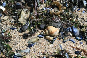 Sealife on the beach: Seashells and seaweed washed up on the beach in Kent, England.