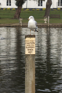 Humorous perch: A gull on a riverside mooring post in England.