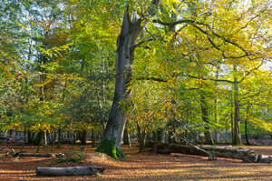 Autumn forest: The New Forest, Hampshire, England, in autumn.