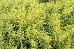 Yellow flower buds: Goldenrod (Solidago) coming into flower in a garden in England.