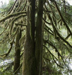 Mossy tree: Conifer tree branches covered in moss in temperate rainforest.