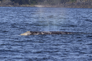Gray whale: A gray whale (Eschrichtius robustus) surfacing to blow off the coast of Vancouver Island, Canada, with its blow-vapour visible in the air above it.
