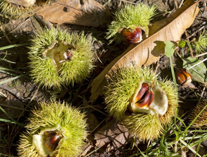 Sweet chestnuts: Fallen ripe sweet chestnuts (Castanea sativa) in their shells in West Sussex, England.