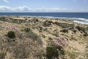 Sand dune flowers: Flowers growing on coastal sand dunes in southern Spain.