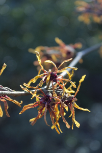 Winter flowers: Witch hazel (Hamamelis) in flower in a garden in England in winter.
