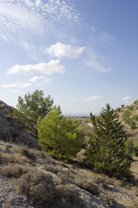 Dry coniferous landscape: A dry slope landscape in Cyprus with conifers and scrub.