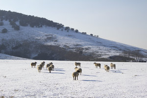 Sheep in snow: Sheep in snowy fields on the South Downs, West Sussex, England, in February.