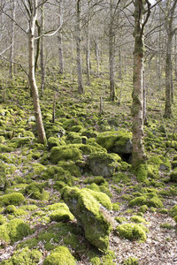 Mossy boulder woodland: Mossy boulders in woodland in Cumbria, England, in early spring.
