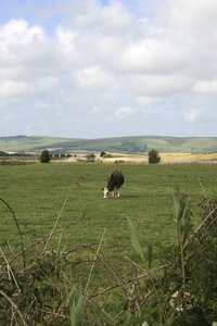 Single cow landscape: Pastoral landscape of Sussex, England, in late summer.