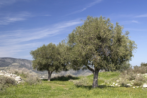 Hilltop olive trees: Olive trees on a coastal hilltop in the Gargano region, Puglia, Italy.