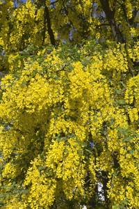 Laburnum flowers: Flowers of a laburnum tree in a garden in West Sussex, England, in spring.