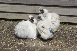 Ugly chickens: Adult and two immature crested chickens (possibly silkies) in West Sussex, England.