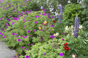 Mixed flowers border: A border of mixed flowers in a garden in West Sussex, England.