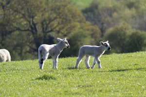 Lambs: Lambs on a farm in Sussex, England, in spring.