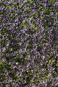 Flowers background: A carpet of tiny Nemesia flowers in a garden in England in spring.