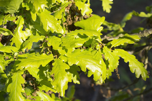 Fresh oak leaves: Fresh oak (Quercus) leaves in spring in West Sussex, England.