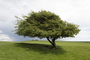 One tree: An old hawthorn (Crataegus) tree on the South Downs, East Sussex, England.