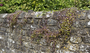 Flowers on old wall: An old stone wall in West Sussex, England, with ivy-leaved toadflax (Cymbalaria muralis) growing on it.