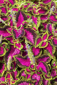 Colourful leaves: Leaves of Coleus plants in a garden in Spain.