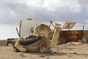 Israel camels: An adult camel and a foal in a semi-permanent bedouin camp in the Judean desert, Israel.