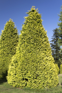 Ornamental conifers: Ornamnetal yellow-green conifers in a park in England.