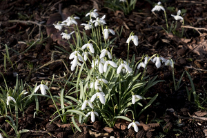 Early spring flowers: Snowdrops (Galanthus) in flower in February in West Sussex, England.