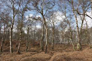 Heathland birch forest: Birch (Betula) forest on heathland in West Sussex, England, in early spring.