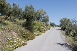 Rural road: A rural road with wild Cistus flowers in southern Greece in spring.