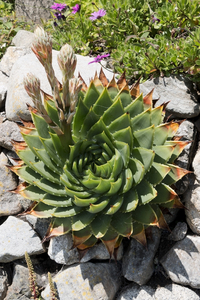 Succulent plant: A succulent planted on the side of a wall in a coastal garden in England.