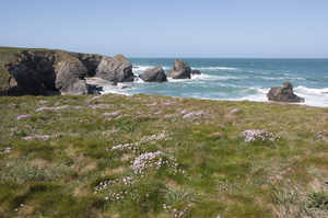 Coastline with wild flowers: Coastline with wild thrift (Armeria) flowers in Cornwall, England.