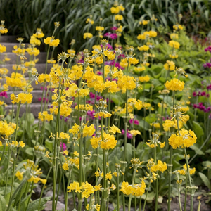 Candelabra primula flowers: Candelabra primula flowers in a water garden in Cornwall, England.