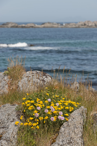 Coastal wild flowers: Coastal wild flowers in the Lofoten Islands, Norway.