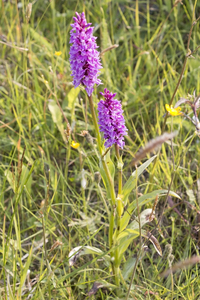 Arctic orchids: Wild orchids in the Lofoten Islands, Norway, north of the Arctic Circle.