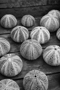 Sea urchins B/W: Sea urchin (Echinoidea) shells on sale in the Lofoten Islands, Norway.