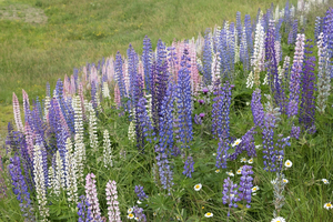 Wild lupins: Lupins growing wild in Norway.
