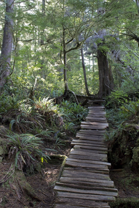 Temperate moss forest: A boardwalk through temperate moss forest on Vancouver Island, Canada.