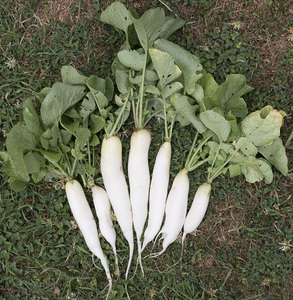 White radishes: Freshly harvested white radishes (aka mooli, Raphanus sativus var. longipinnatus) from an allotment in England.
