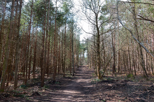 Forest walk: A bridleway through conifer forest in Surrey, England, in early spring.