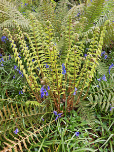 Fern in spring: A wild fern and bluebell flowers in woodland in Dorset, England, in spring.