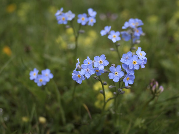 Alpine forget-me-not: Alpine forget-me-not (Myosotis) growing high up in the Dolomites, Italy.