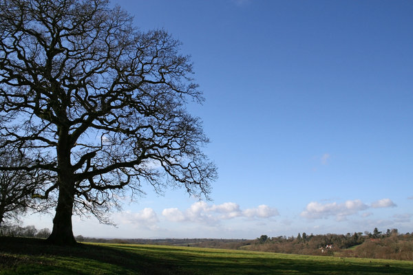 Tree in winter 2: An isolated oak tree on the High Weald of West Sussex, England, in winter.