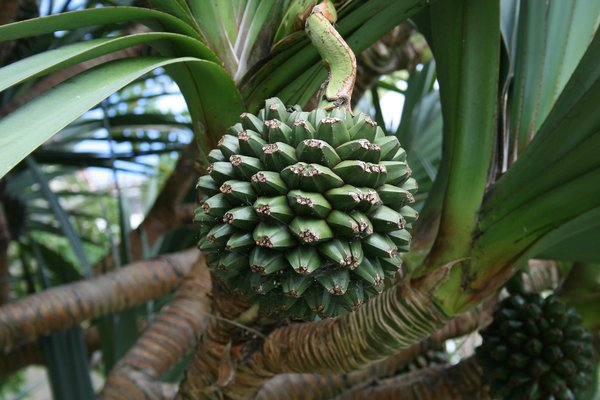 Screwpine tree with fruit: A screwpine (Pandanus) tree with fruit growing in a garden in Madeira.