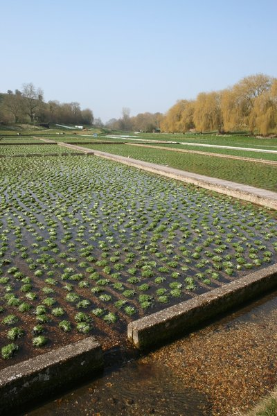 Watercress beds: Watercress (Nasturtium officinale) beds in Wiltshire, England.