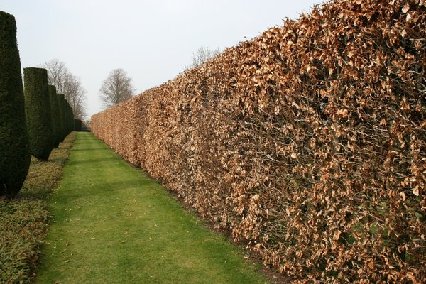 Path by a beech hedge: A path by a long beech (Fagus) hedge in a garden in Somerset, England.