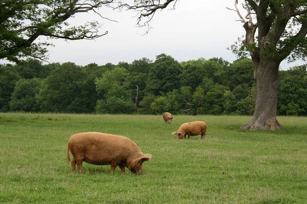 Tamworth pigs: Tamworth pigs roaming free on an estate in West Sussex, UK.
