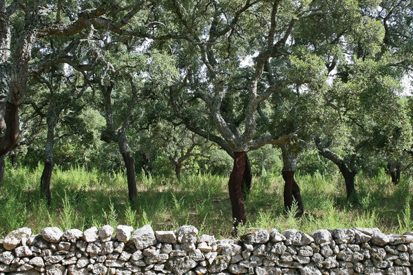 Cork oaks: A plantation of cork oaks (Quercus suber) with their trunks stripped of bark in Sardinia.