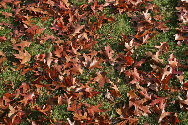 Red oak leaves: Autumn leaves of a red oak (Quercus rubra) tree in a park in East Sussex, England.