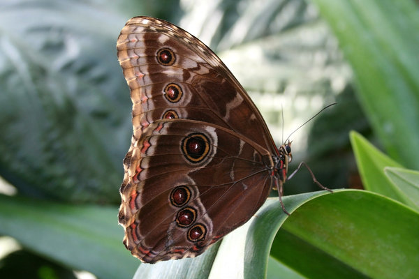 Morpho eyes: Eye-spots on the underside of the wings of a Morpho butterfly.