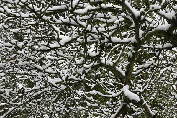 Snowy branches: Snow on the branches of a fruit tree in West Sussex, England.