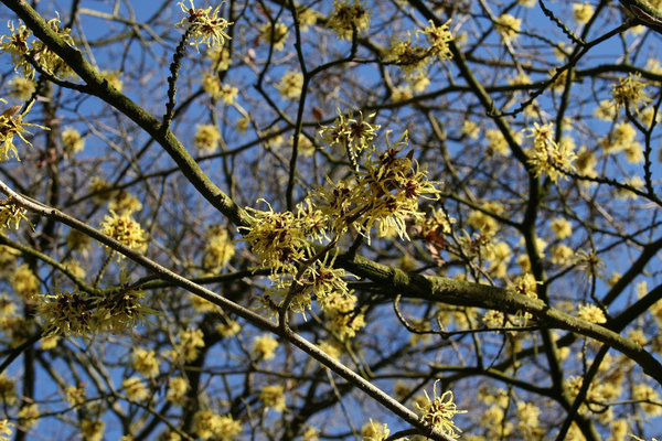 Witch hazel: A witch hazel (Hamamelis) tree in flower in February in England.